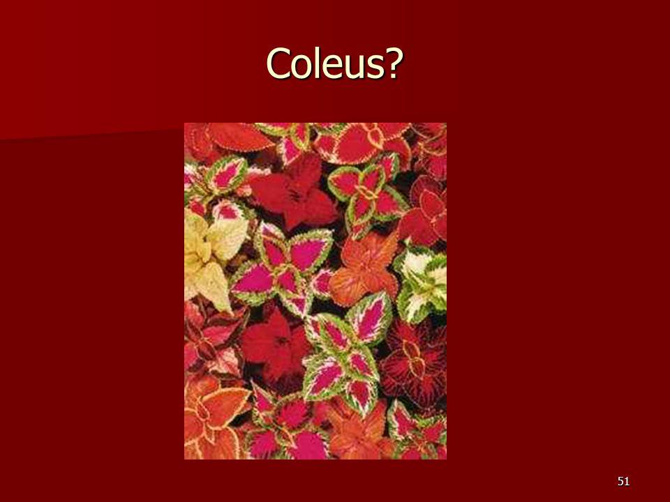 51 Coleus?