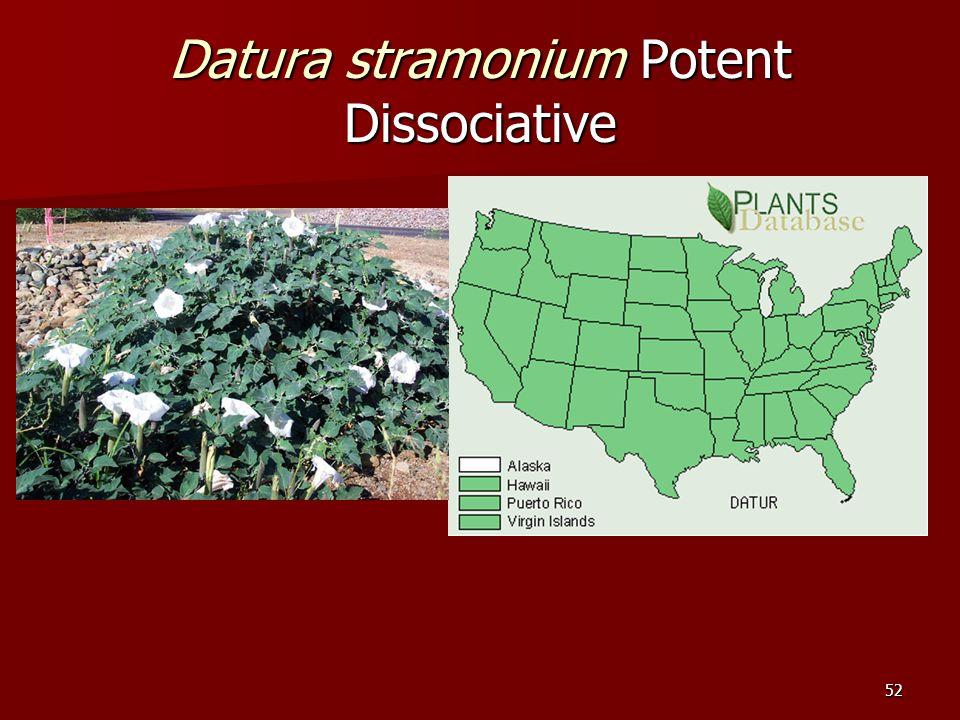52 Datura stramonium Potent Dissociative