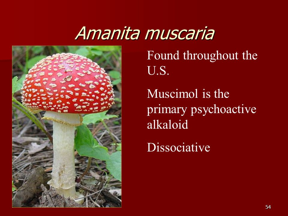 54 Amanita muscaria Found throughout the U.S. Muscimol is the primary psychoactive alkaloid Dissociative