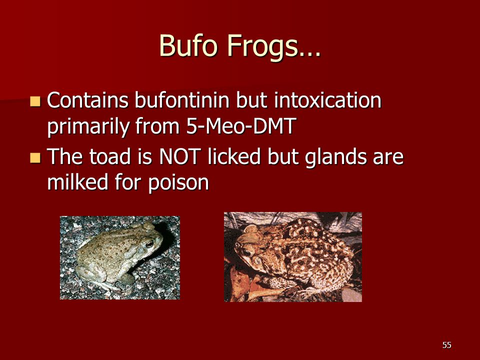 55 Bufo Frogs… Contains bufontinin but intoxication primarily from 5-Meo-DMT Contains bufontinin but intoxication primarily from 5-Meo-DMT The toad is
