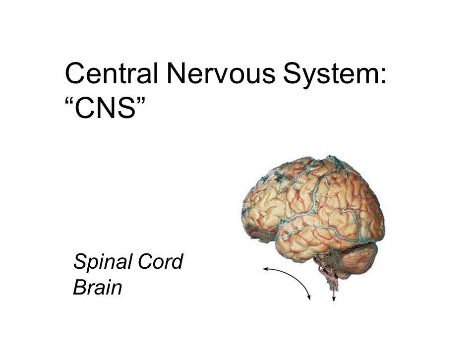 "Central Nervous System: ""CNS"" Spinal Cord Brain"