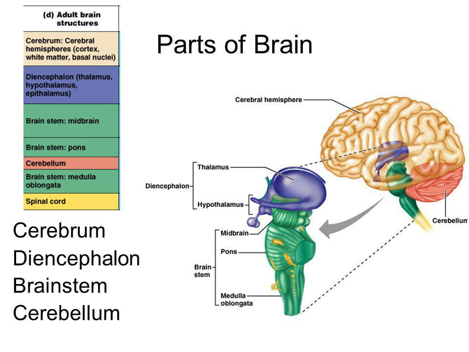 Parts of Brain Cerebrum Diencephalon Brainstem Cerebellum