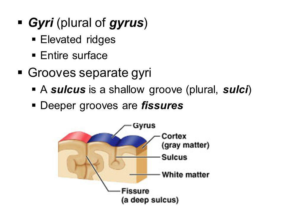  Gyri (plural of gyrus)  Elevated ridges  Entire surface  Grooves separate gyri  A sulcus is a shallow groove (plural, sulci)  Deeper grooves ar