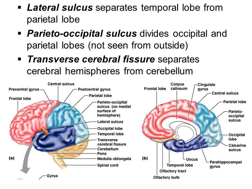  Lateral sulcus separates temporal lobe from parietal lobe  Parieto-occipital sulcus divides occipital and parietal lobes (not seen from outside) 