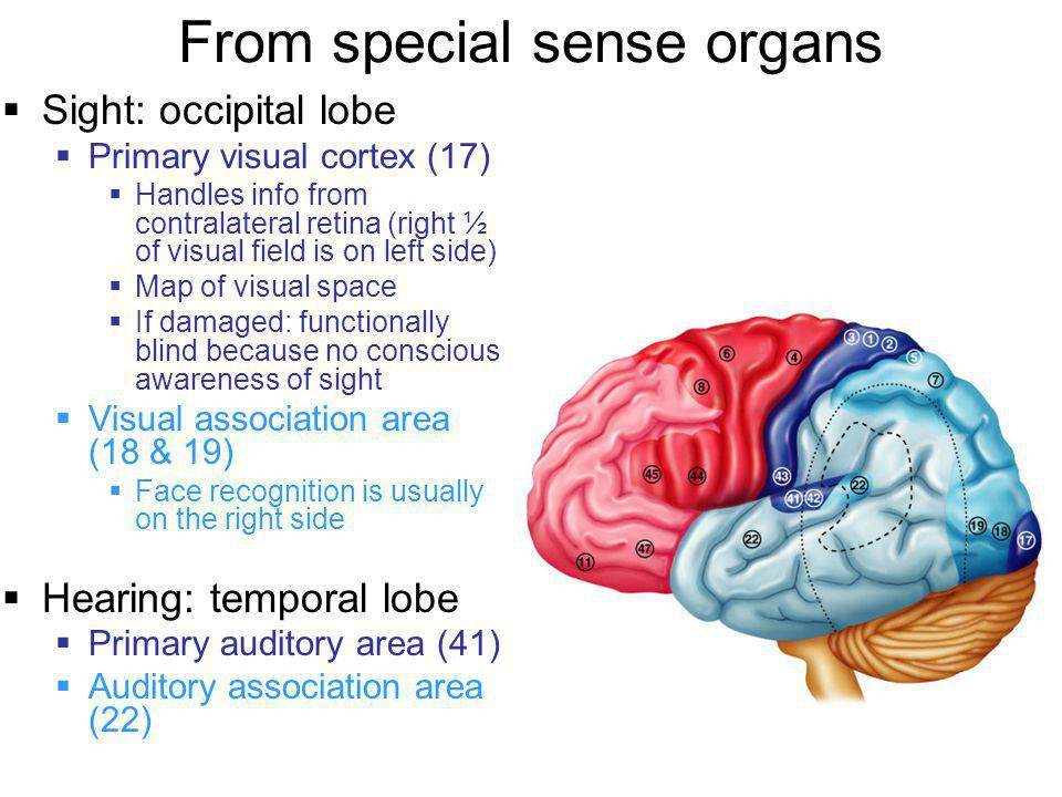 From special sense organs  Sight: occipital lobe  Primary visual cortex (17)  Handles info from contralateral retina (right ½ of visual field is on