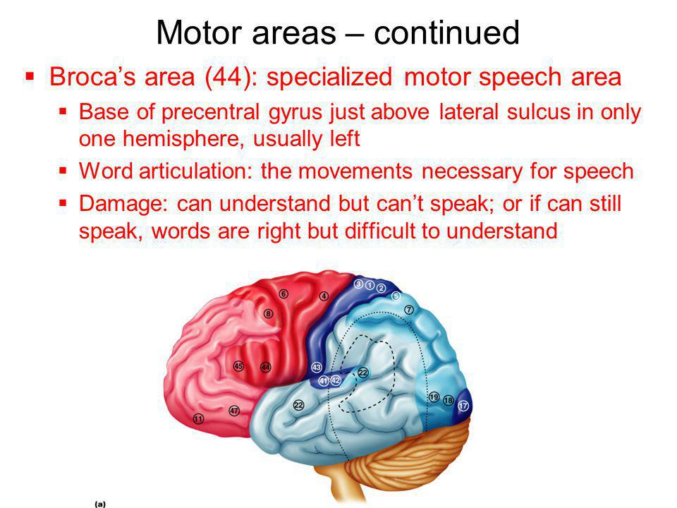 Motor areas – continued  Broca's area (44): specialized motor speech area  Base of precentral gyrus just above lateral sulcus in only one hemisphere