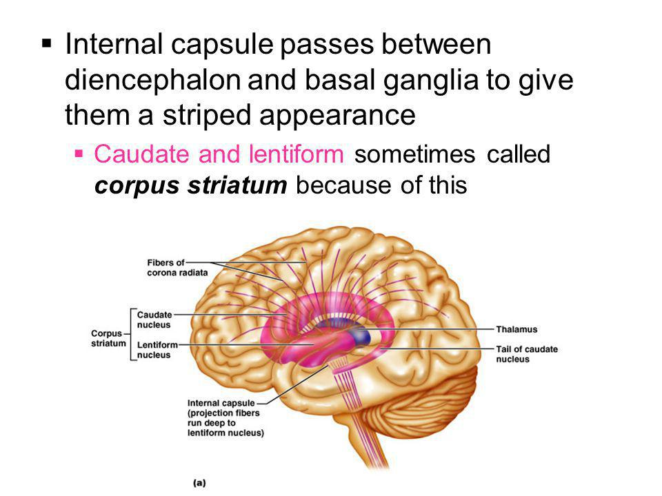  Internal capsule passes between diencephalon and basal ganglia to give them a striped appearance  Caudate and lentiform sometimes called corpus str