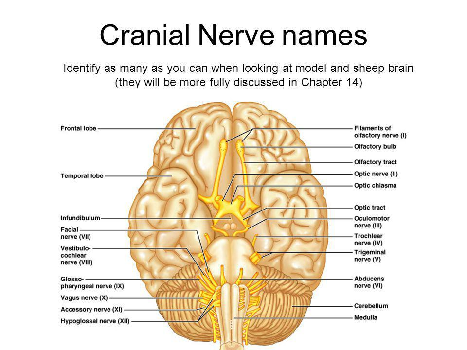 Cranial Nerve names Identify as many as you can when looking at model and sheep brain (they will be more fully discussed in Chapter 14)