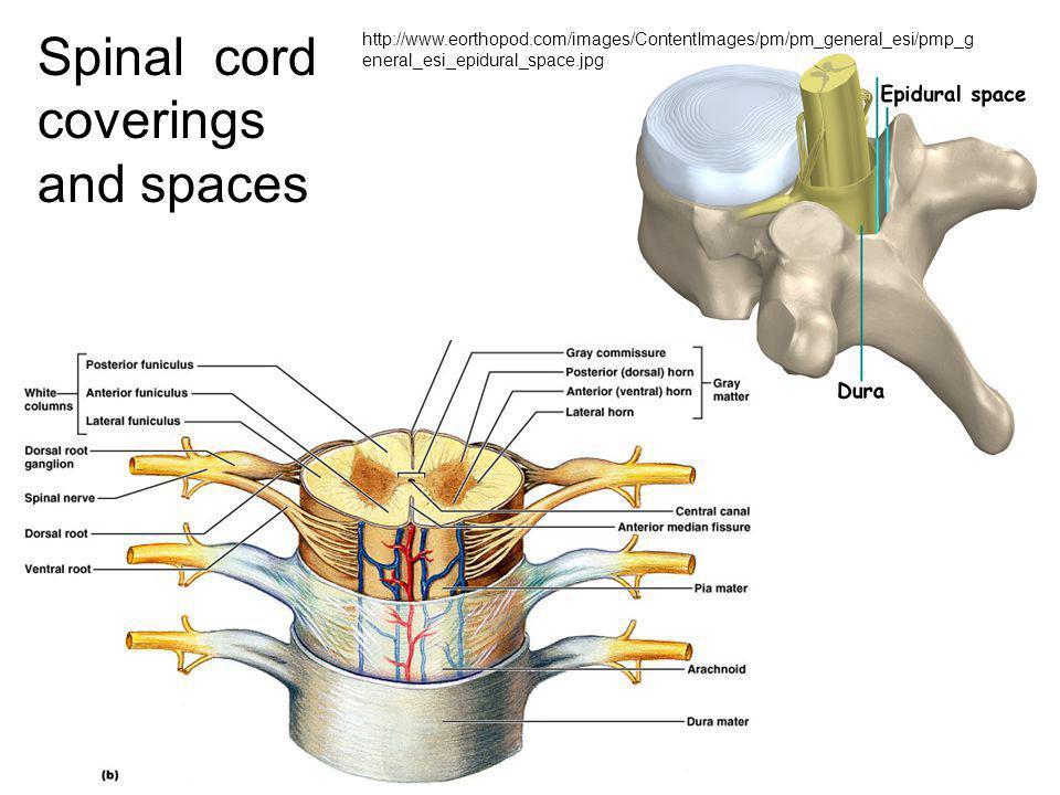 Brain, sagittal sec, medial view 1.Cerebral hemisphere 2.Corpus callosum 3.Thalamus 4.Midbrain 5.Pons 6.Cerebellum 7.Medulla oblongata