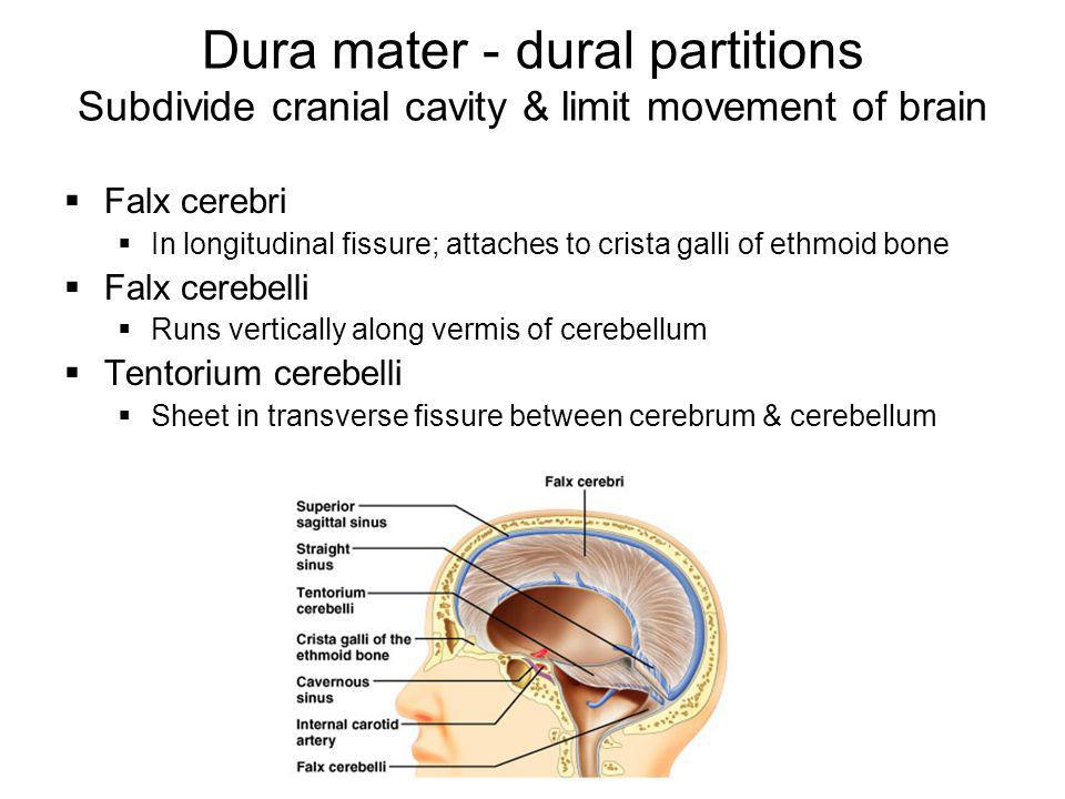 Dura mater - dural partitions Subdivide cranial cavity & limit movement of brain  Falx cerebri  In longitudinal fissure; attaches to crista galli of