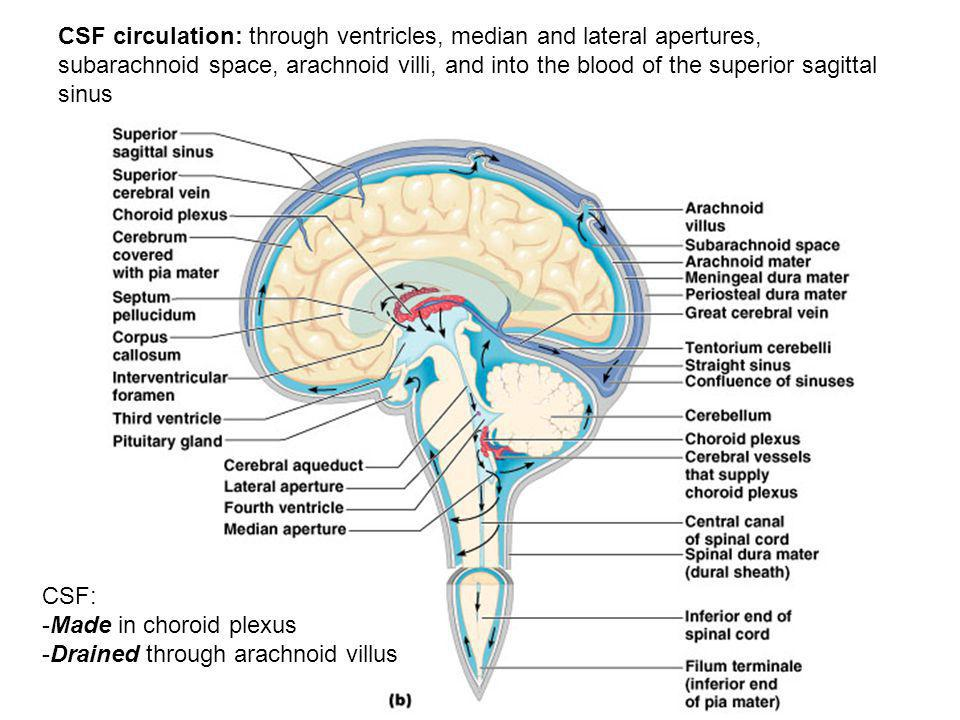 CSF circulation: through ventricles, median and lateral apertures, subarachnoid space, arachnoid villi, and into the blood of the superior sagittal si