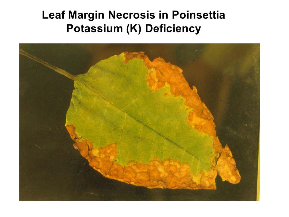 Leaf Margin Necrosis in Poinsettia Potassium (K) Deficiency