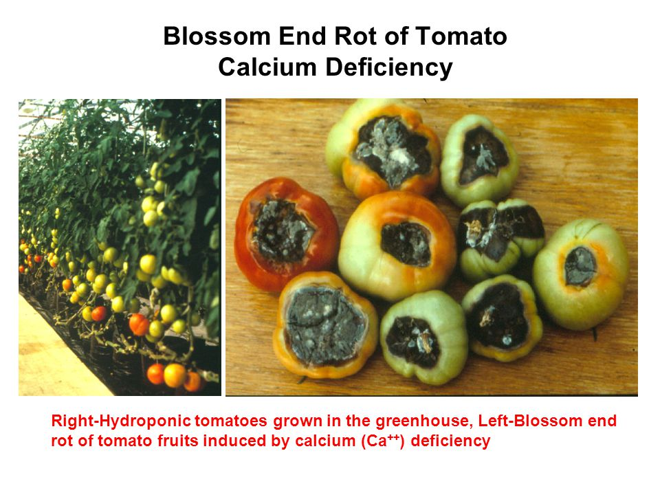 Blossom End Rot of Tomato Calcium Deficiency Right-Hydroponic tomatoes grown in the greenhouse, Left-Blossom end rot of tomato fruits induced by calci