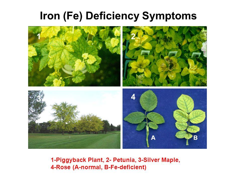 Iron (Fe) Deficiency Symptoms 12 4 3 1-Piggyback Plant, 2- Petunia, 3-Silver Maple, 4-Rose (A-normal, B-Fe-deficient) AB