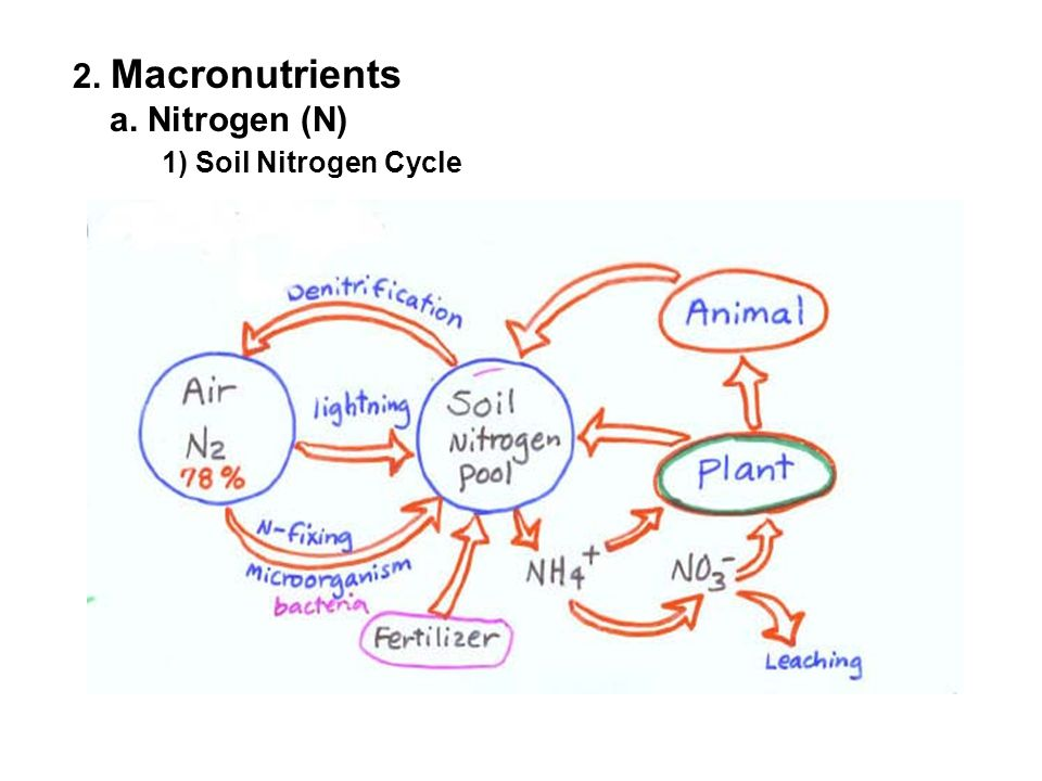 A.Nitrogen (N) 1) Soil Nitrogen Cycle a)Nitrogen Fixation -Transformation of atmospheric N to nitrogen forms available to plants - Mediated by N-fixing bacteria: Rhizobium (symbiotic) found in legumes (bean, soybean) Azotobacter (non-symbiotic bacteria) b) Soil Nitrification - Decomposition of organic matter into ammonium and nitrate - Mediated by ammonifying and nitrifying bacteria Ammonifying bacteria Nitrifying bacteria (Actinomycetes) (Nitrosomonas) (Nitrobacter) Plant residue → NH 4 + → NO 2 → NO 3 - (Protein, aa, etc) Ammonium Nitrite Nitrate