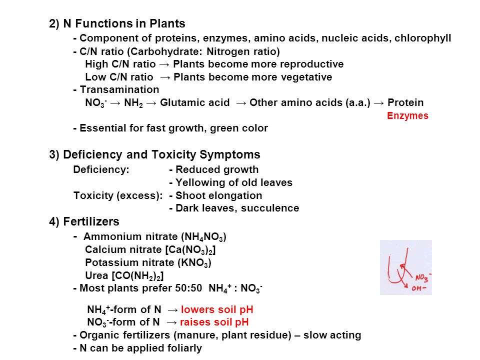 2) N Functions in Plants - Component of proteins, enzymes, amino acids, nucleic acids, chlorophyll - C/N ratio (Carbohydrate: Nitrogen ratio) High C/N