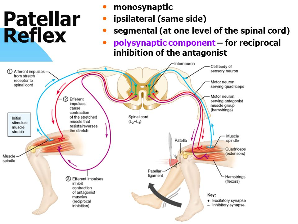 Patellar Reflex monosynaptic ipsilateral (same side) segmental (at one level of the spinal cord) polysynaptic component – for reciprocal inhibition of the antagonist