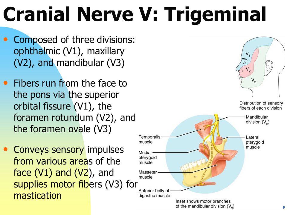 Cranial Nerve V: Trigeminal Composed of three divisions: ophthalmic (V1), maxillary (V2), and mandibular (V3) Fibers run from the face to the pons via the superior orbital fissure (V1), the foramen rotundum (V2), and the foramen ovale (V3) Conveys sensory impulses from various areas of the face (V1) and (V2), and supplies motor fibers (V3) for mastication