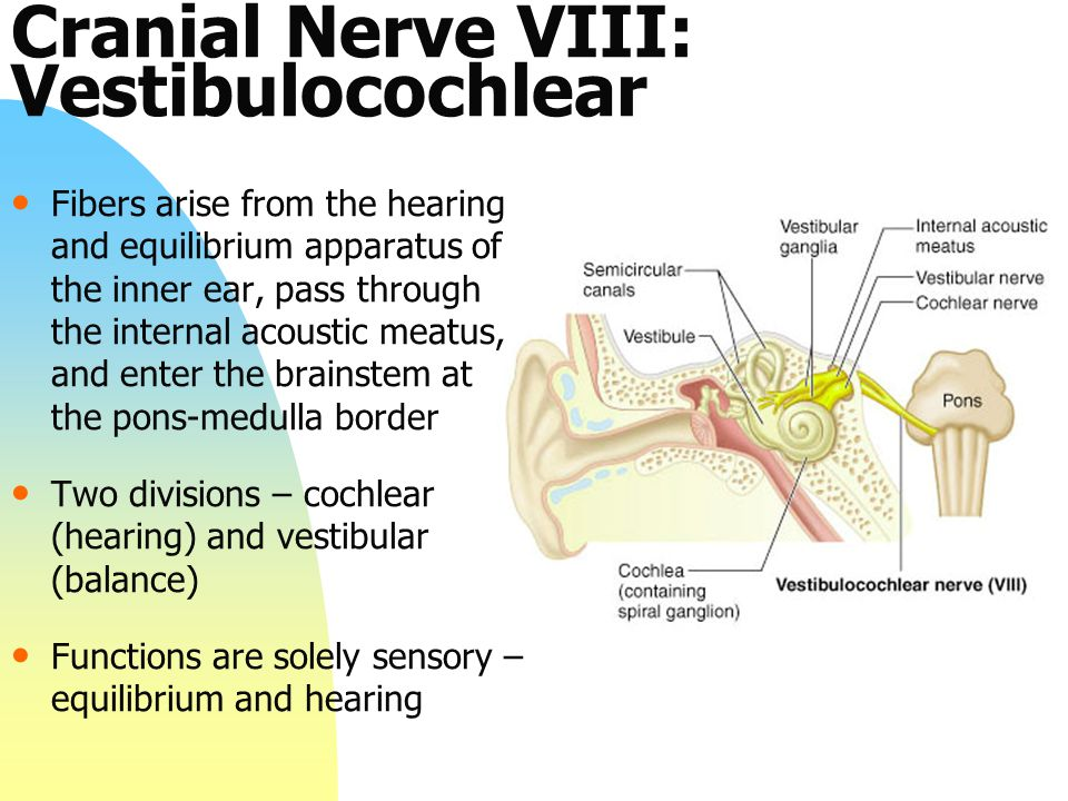Cranial Nerve VIII: Vestibulocochlear Fibers arise from the hearing and equilibrium apparatus of the inner ear, pass through the internal acoustic mea