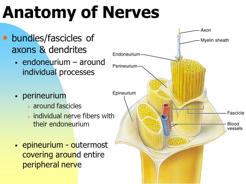 Anatomy of Nerves bundles/fascicles of axons & dendrites  endoneurium – around individual processes  perineurium  around fascicles  individual nerve fibers with their endoneurium  epineurium - outermost covering around entire peripheral nerve