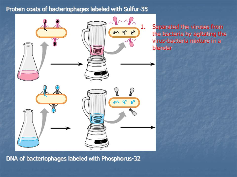 Protein coats of bacteriophages labeled with Sulfur-35 DNA of bacteriophages labeled with Phosphorus-32 1.Separated the viruses from the bacteria by agitating the virus-bacteria mixture in a blender