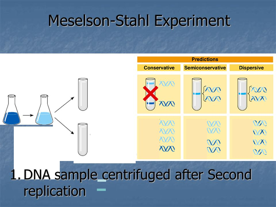 Meselson-Stahl Experiment 1.DNA sample centrifuged after Second replication