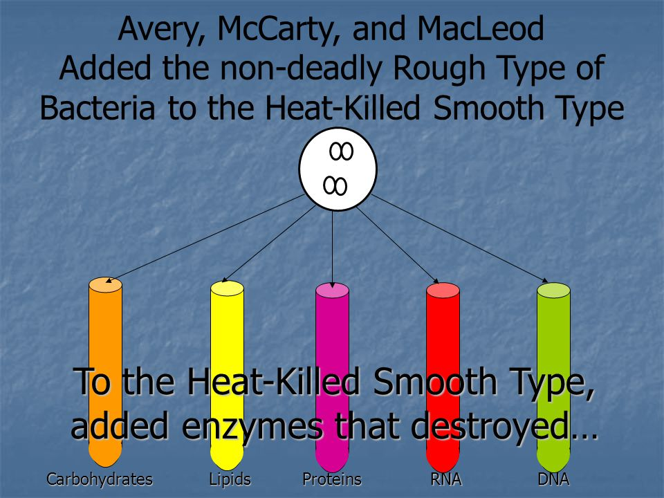 Avery, McCarty, and MacLeod Added the non-deadly Rough Type of Bacteria to the Heat-Killed Smooth TypeCarbohydratesLipidsProteinsRNADNA To the Heat-Killed Smooth Type, added enzymes that destroyed…
