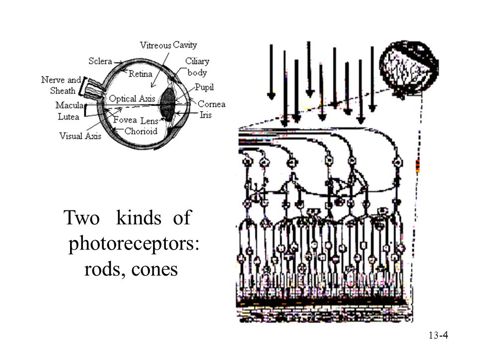 13- 5 Rods -- sensitive to light Cones -- sensitive to color Three types of cones: