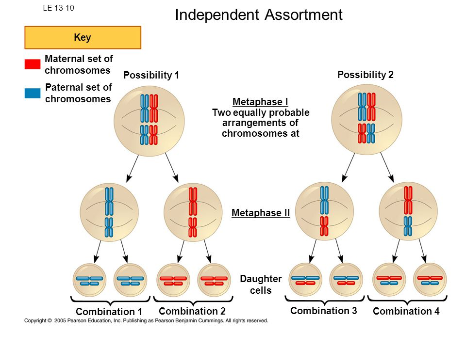 LE 13-10 Key Maternal set of chromosomes Paternal set of chromosomes Possibility 1 Possibility 2 Combination 2 Combination 1 Combination 3 Combination 4 Daughter cells Metaphase II Metaphase I Two equally probable arrangements of chromosomes at Independent Assortment