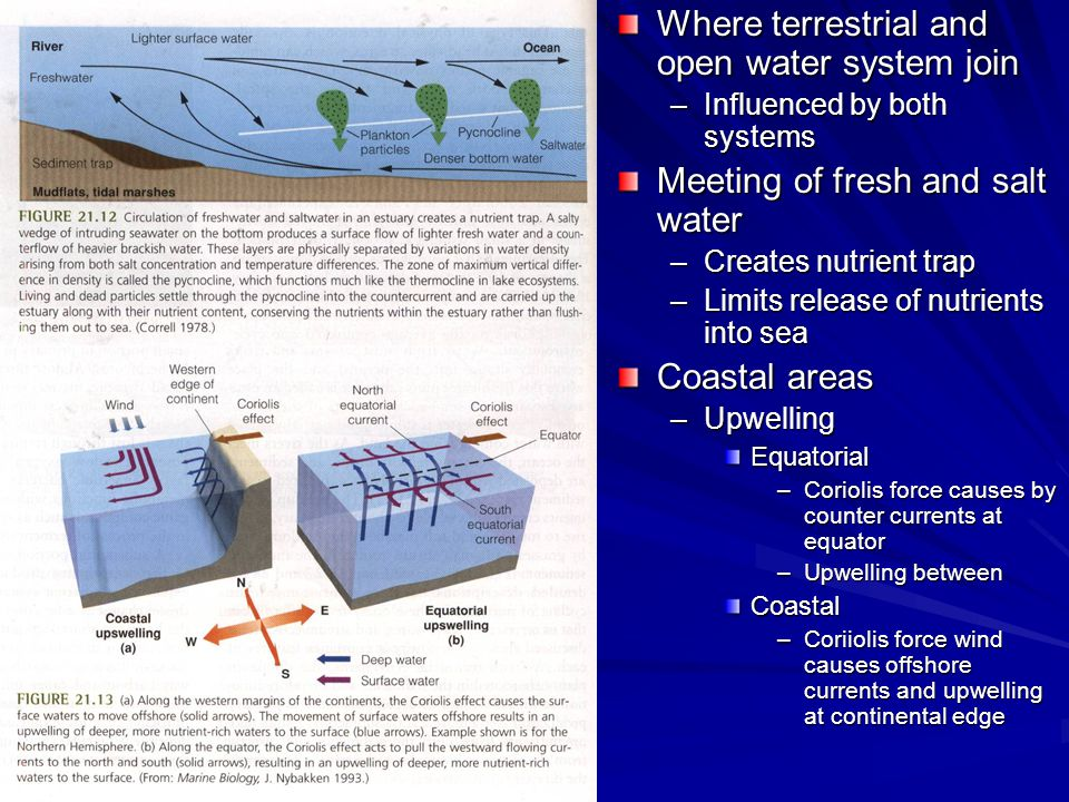 Where terrestrial and open water system join –Influenced by both systems Meeting of fresh and salt water –Creates nutrient trap –Limits release of nutrients into sea Coastal areas –Upwelling Equatorial –Coriolis force causes by counter currents at equator –Upwelling between Coastal –Coriiolis force wind causes offshore currents and upwelling at continental edge