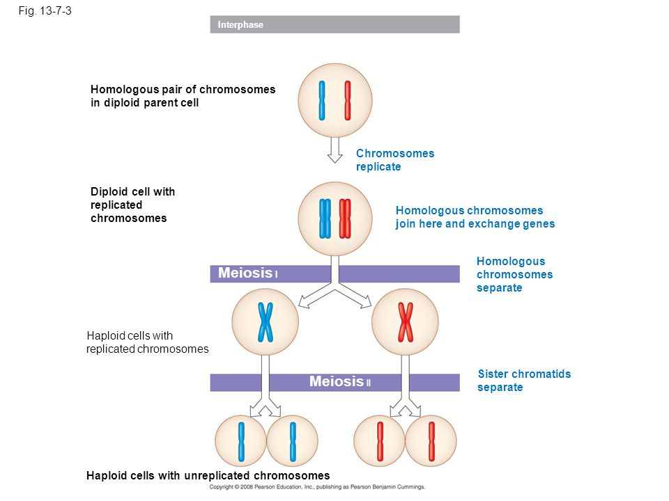 Fig. 13-7-3 Interphase Homologous pair of chromosomes in diploid parent cell Chromosomes replicate Diploid cell with replicated chromosomes Meiosis I