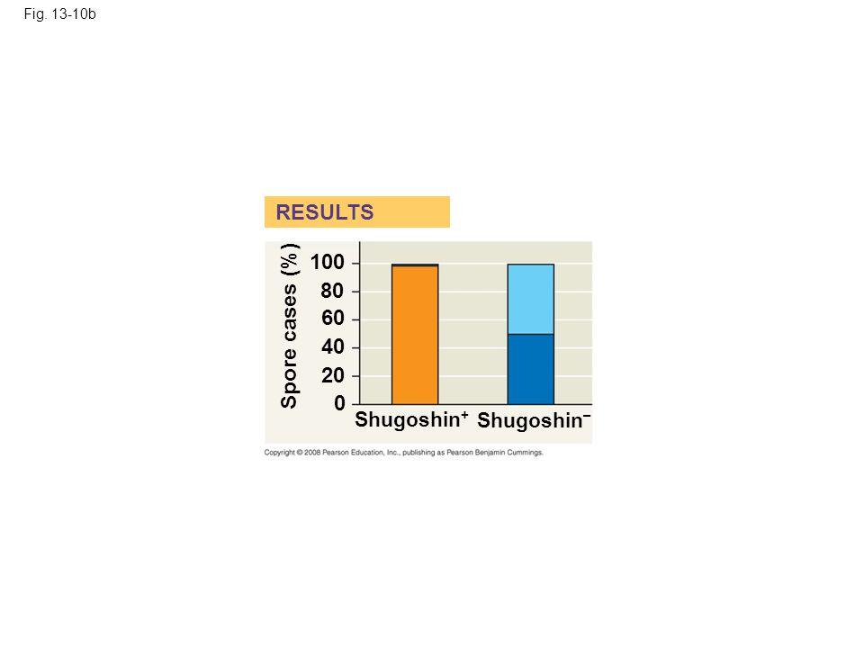 Fig. 13-10b RESULTS Shugoshin + Shugoshin – Spore cases (%) 100 80 60 40 20 0