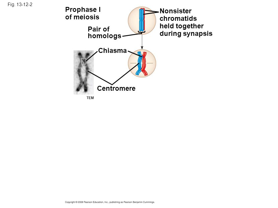 Fig. 13-12-2 Prophase I of meiosis Pair of homologs Nonsister chromatids held together during synapsis Chiasma Centromere TEM