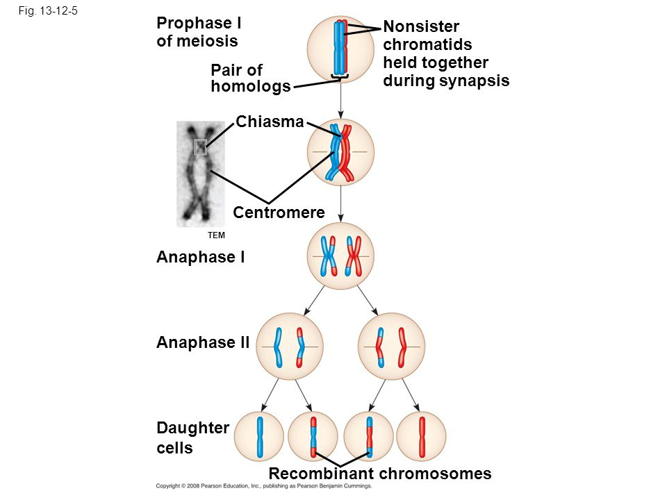 Fig. 13-12-5 Prophase I of meiosis Pair of homologs Nonsister chromatids held together during synapsis Chiasma Centromere Anaphase I Anaphase II Daugh
