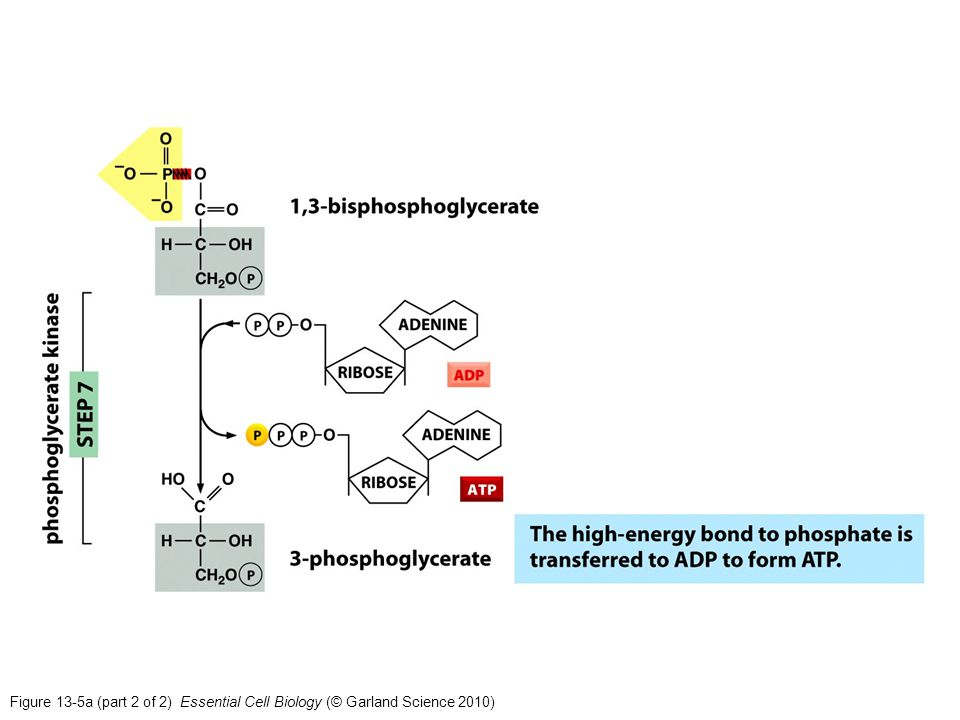 Figure 13-5a (part 2 of 2) Essential Cell Biology (© Garland Science 2010)