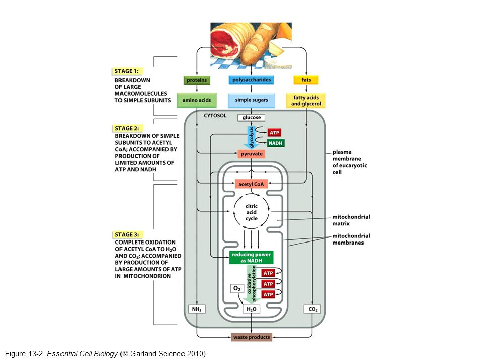 Figure 13-2 Essential Cell Biology (© Garland Science 2010)