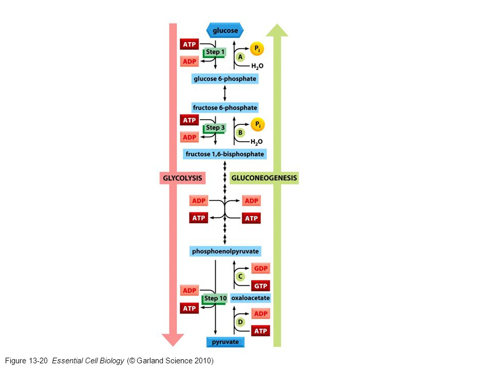 Figure 13-20 Essential Cell Biology (© Garland Science 2010)