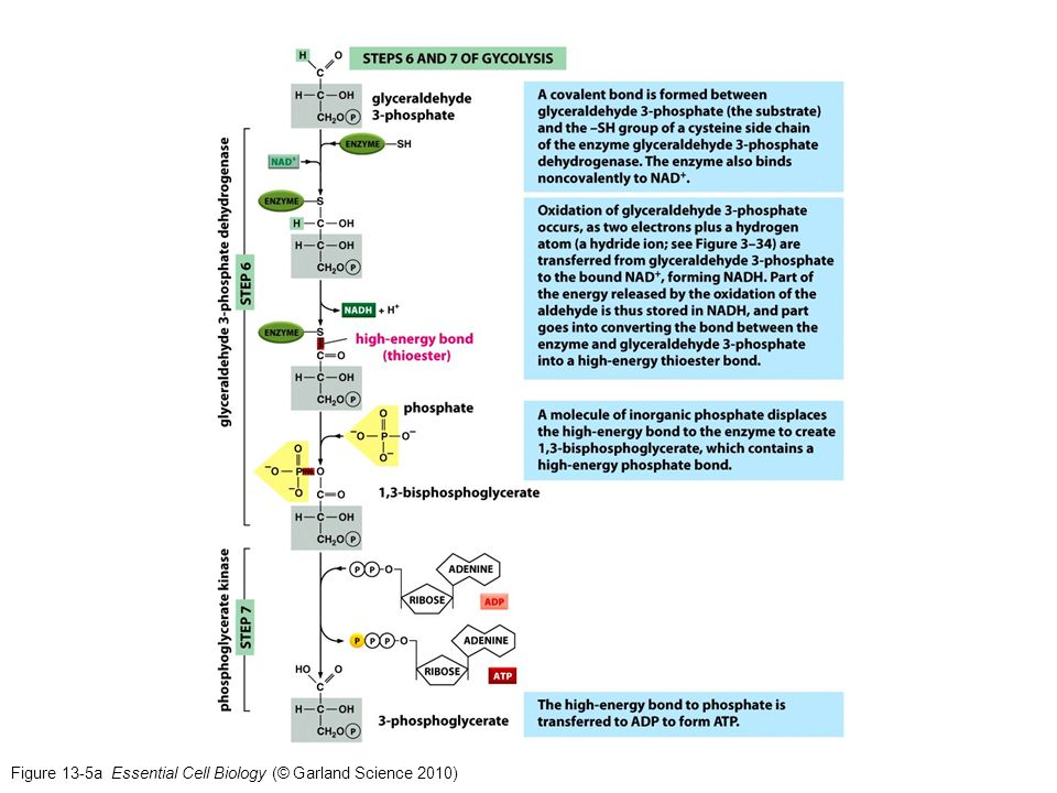 Figure 13-24 Essential Cell Biology (© Garland Science 2010)