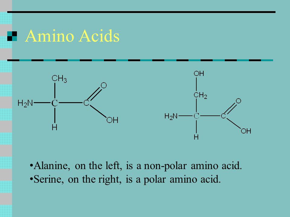 Amino Acids Alanine, on the left, is a non-polar amino acid. Serine, on the right, is a polar amino acid.