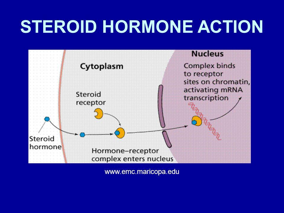 STEROID HORMONE ACTION www.emc.maricopa.edu