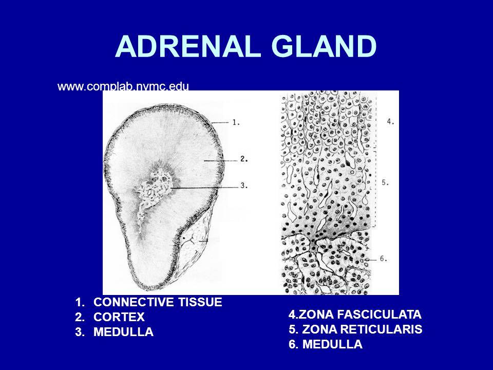 ADRENAL GLAND 1.CONNECTIVE TISSUE 2.CORTEX 3.MEDULLA 4.ZONA FASCICULATA 5.