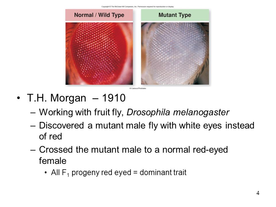 5 Morgan crossed F 1 females x F 1 males F 2 generation contained red and white- eyed flies –But all white-eyed flies were male Testcross of a F 1 female with a white-eyed male showed the viability of white-eyed females Morgan concluded that the eye color gene resides on the X chromosome