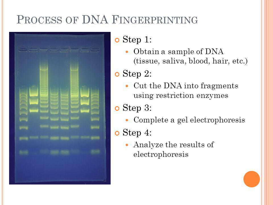 P ROCESS OF DNA F INGERPRINTING Step 1: Obtain a sample of DNA (tissue, saliva, blood, hair, etc.) Step 2: Cut the DNA into fragments using restriction enzymes Step 3: Complete a gel electrophoresis Step 4: Analyze the results of electrophoresis