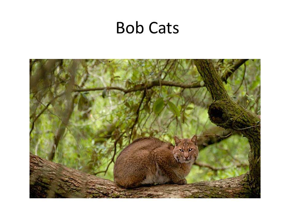 Bob Cats