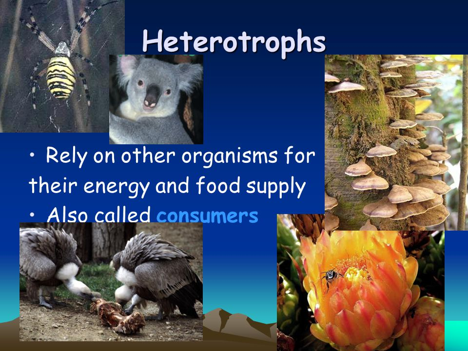Heterotrophs Rely on other organisms for their energy and food supply Also called consumers