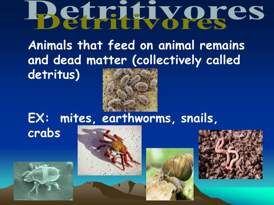 Animals that feed on animal remains and dead matter (collectively called detritus) EX: mites, earthworms, snails, crabs