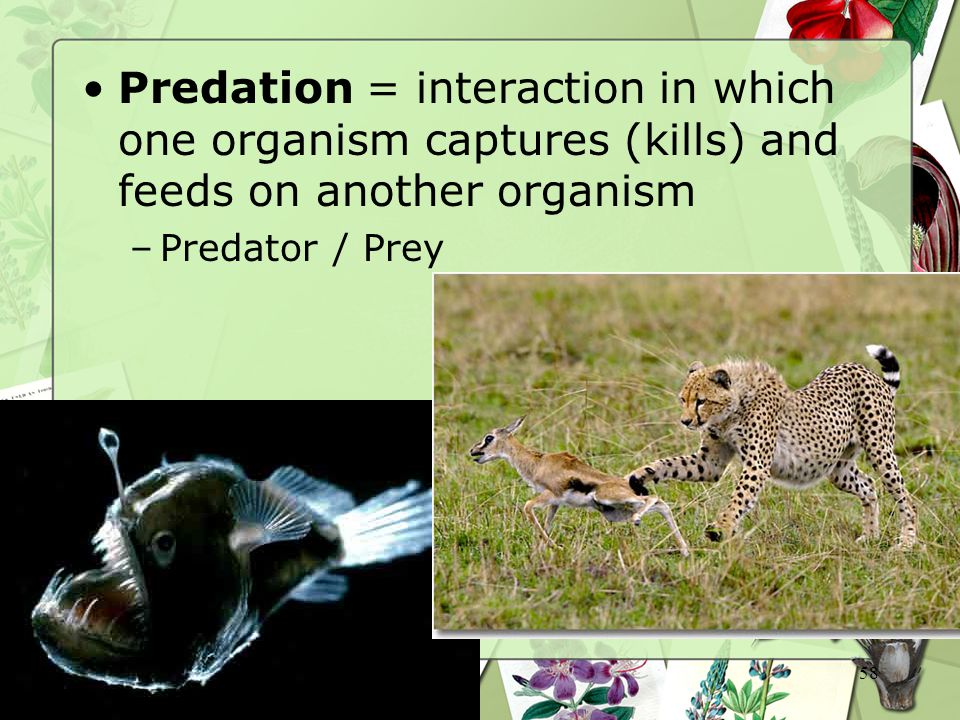 58 Predation = interaction in which one organism captures (kills) and feeds on another organism –Predator / Prey
