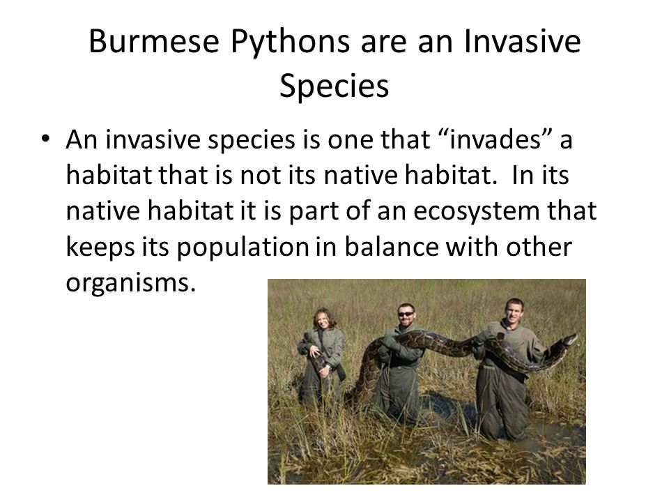 """Burmese Pythons are an Invasive Species An invasive species is one that """"invades"""" a habitat that is not its native habitat. In its native habitat it i"""