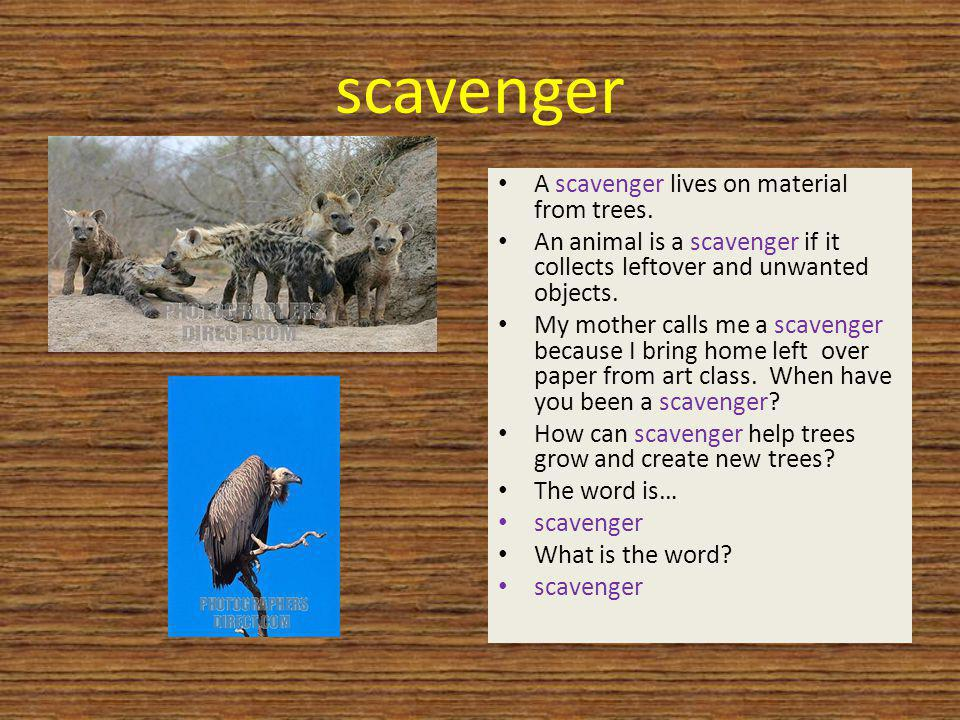 scavenger A scavenger lives on material from trees. An animal is a scavenger if it collects leftover and unwanted objects. My mother calls me a scaven