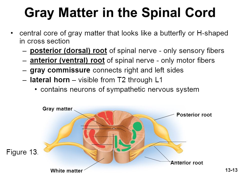 13-13 Gray Matter in the Spinal Cord central core of gray matter that looks like a butterfly or H-shaped in cross section –posterior (dorsal) root of spinal nerve - only sensory fibers –anterior (ventral) root of spinal nerve - only motor fibers –gray commissure connects right and left sides –lateral horn – visible from T2 through L1 contains neurons of sympathetic nervous system Figure 13.4 Posterior root Anterior root Gray matter White matter